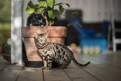 Bengal cat at home on the porch royalty free stock images