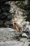 Bengal Cat Hunting outdoor, Nature green background stock images