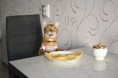 Free Bengal Cat In An Apron Sits On A Chair Stock Images - 181918204