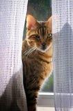 Bengal Cat In Window Stock Photos