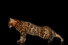 Bengal Cat isolated on Black Background Royalty Free Stock Photography