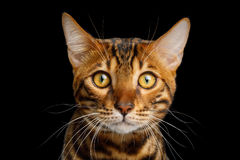 Bengal Cat isolated on Black Background. Portrait of Bengal Cat Stare in camera on isolated Black Background Royalty Free Stock Images