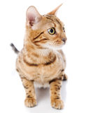Bengal cat. Isolated Stock Image