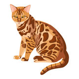 Bengal cat isolated on white. Selective breeding of domestic cats. Bengal cat isolated on white background. Cute selective breeding of domestic cats. Confident Stock Photography