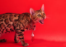 Bengal cat and Jewellery Stock Photos