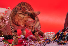 Bengal cat and Jewellery Royalty Free Stock Photo