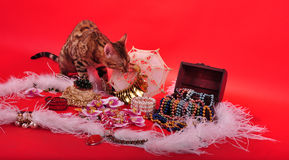 Bengal cat and Jewellery Stock Images