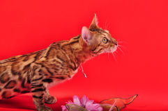 Bengal cat and Jewellery Royalty Free Stock Images
