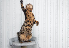 Bengal cat jumping. And cling paw Stock Photos
