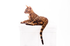 Bengal cat kitten brown spotted. Isolated Royalty Free Stock Photo