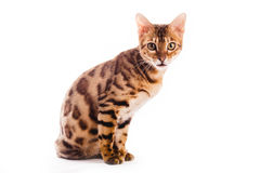 Bengal cat kitten brown spotted. Isolated Stock Images