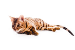 Bengal cat kitten brown spotted. Isolated Royalty Free Stock Image