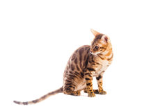 Bengal cat kitten brown spotted. Isolated Royalty Free Stock Photography
