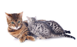 Bengal cat and kitten Stock Image