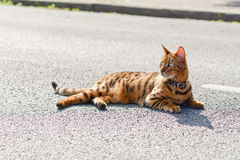 Bengal cat laying in road. Bengal cat laying in the middle of the road Royalty Free Stock Photography