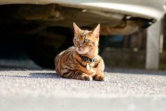 Bengal cat. Laying on pavement near parked car Stock Photos