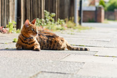 Bengal cat resting on pavement. Bengal cat laying in the sun on the pavement Stock Photo