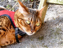 Bengal cat on leash harness outside lying on ground Stock Photos