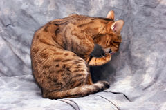 Bengal cat licking paw. An adult male bengal cat lis sitting licking his paw  against a grey background Royalty Free Stock Photography