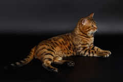 Bengal Cat Lies Stock Images