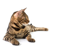 Bengal cat lies and looks away on white background Royalty Free Stock Photo