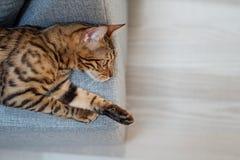 Bengal cat lies on the sofa stock photo