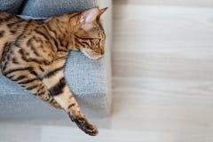 Bengal cat lies on the sofa stock image