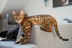 Bengal cat lies on the sofa royalty free stock photography
