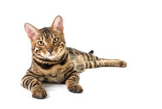Bengal cat lies on white background Stock Images