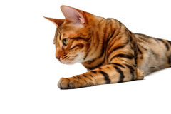 Bengal cat lies on white Stock Images