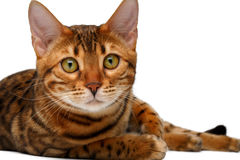 Bengal cat lies on white and looking in camera Stock Photography