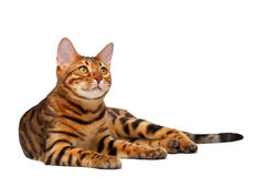 Bengal cat lies on white and looking up Royalty Free Stock Images