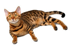 Bengal cat lies on white and looking up Stock Photography