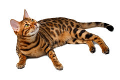 Bengal cat lies on white and looking up Stock Image