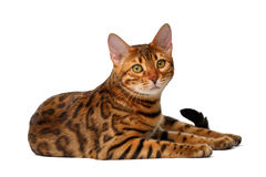 Bengal cat lies on white and looking up Stock Photo