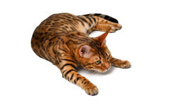 Bengal cat lies on white and looking up Royalty Free Stock Photo