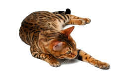 Bengal cat lies on white and raising paw Stock Photography