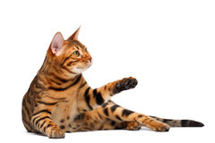 Bengal cat lies on white and raising paw Royalty Free Stock Image