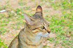 Bengal cat Royalty Free Stock Image