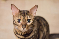 Bengal cat looking Stock Photos