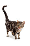 Bengal Cat Looking Down Licking Lips Royalty Free Stock Photos