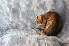 Bengal cat looking scared. Adult male bengal cat hunched in corner looking scared or curious against a grey background Stock Image
