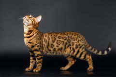 Bengal Cat Looking up on Black background Stock Photos