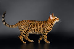 Bengal Cat Looking up on Black background Royalty Free Stock Photos