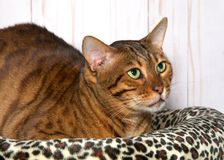 Bengal Cat looking up to viewers right nervously. Bengal cat laying on a bed next to a soft brown wood panel wall looking up to viewers right with a worried Royalty Free Stock Photography