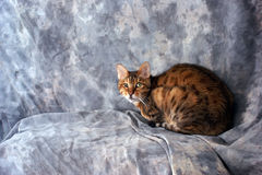 Bengal cat looking at viewer. A beautiful tiger striped bengal cat is crouched down looking at viewer against a grey background Stock Image