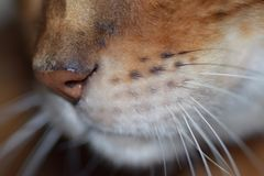 Bengal Cat Nose Arkivfoton
