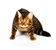 Bengal Cat On White Background Royalty Free Stock Images
