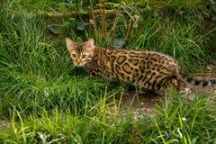 Bengal Cat outdoor Stock Photography