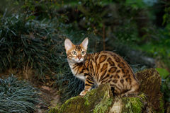 Bengal Cat outdoor Royalty Free Stock Photo